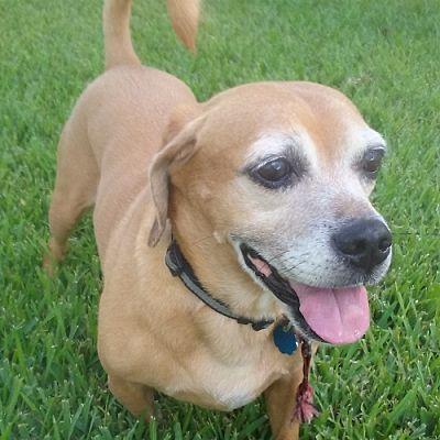 Palm City Fl Pug Meet Bindi A Pet For Adoption Pet Adoption