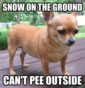 This Is So My Dog I Have To Put Puppy Pads Down When It Snows Bc She Won T Go Outside Chihuahua Cute Chihuahua Chihuahua Funny Chihuahua Puppies