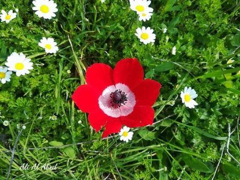 وردة شقائق النعمان الدحنونة محاطة بزهورالمرغريتا من براري النبطية جنوب لبنان Plants
