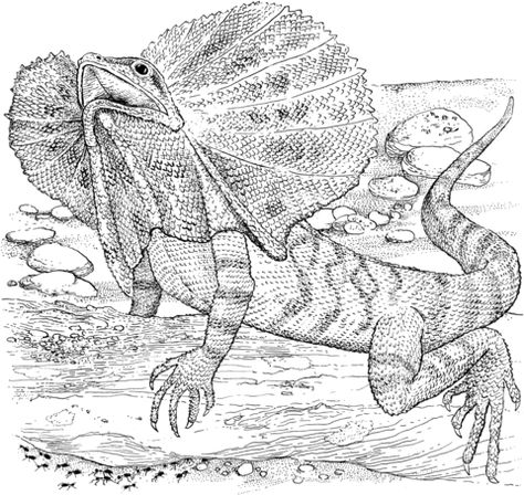 Frilled Lizard Coloring Page The Frilled Necked Lizard Chlamydosaurus Kingii Also Known As The Frilled Lizard Frilled Drago Raskraski S Zhivotnymi Risunki Dlya Raskrashivaniya I Yashericy