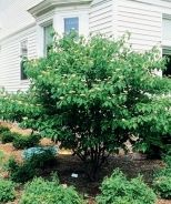 Pagoda Dogwood (Cornus alternifolia) - Monrovia - Pagoda Dogwood (Cornus alternifolia)
