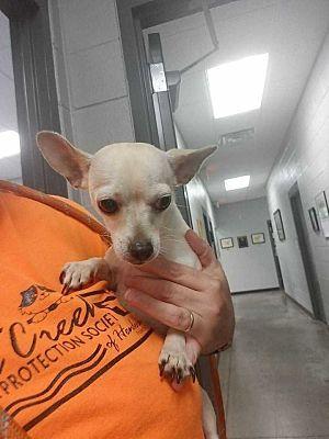 Whitestone Ny Chihuahua Meet Sofia Loren Aka Clara A Dog For Adoption Kitten Adoption Dog Adoption Pets