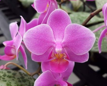 Phal Schilleriana X Equestris Phalaenopsis Orchids Orchids Phalaenopsis Orchid Small Flowers