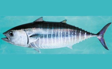 Southern Bluefin Tuna CRITICALLY ENDANGERED: Prized by sushi lovers and known as the Porsche of the sea because it can reach speeds of up to 70km/hour and travel vast distances, bluefin numbers have plummeted since the 1950s, prompting widespread calls for more protection.