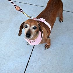 Chandler Arizona Dachshund Meet Tess A For Adoption Https