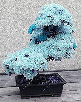 Amazon Com 10 Pcs Rare Sky Blue Sakura Seeds Seeds Flower Seeds Seeds Plants Cherry Blossoms Seeds Cherry Blossom Tree Fo Bonsai Tree Bonsai Tree Types Bonsai