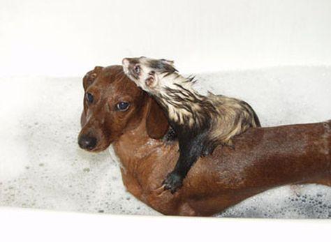 And Lastly This Dachshund Tattoo Cute Ferrets Ferret