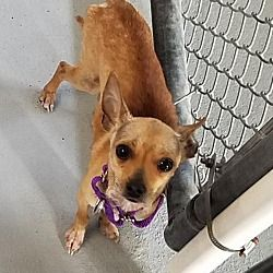 Fort Myers Florida Chihuahua Meet Peepers A For Adoption