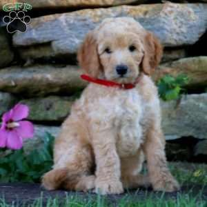 Duffy F1b Goldendoodle Puppy For Sale In Pennsylvania Goldendoodle Puppy F1b Goldendoodle Goldendoodle Puppy For Sale