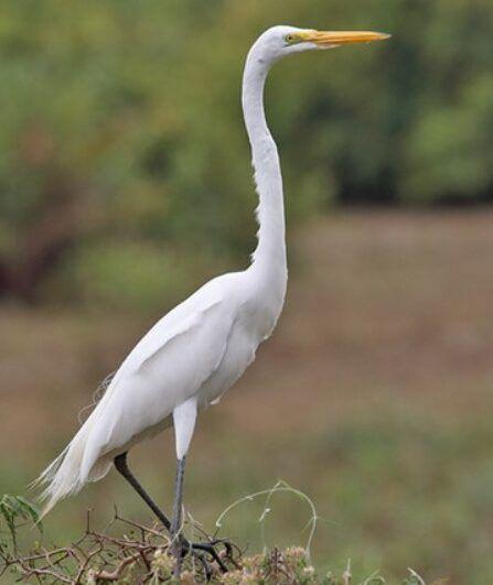 Burung Bangau Burung Habitat Bangau