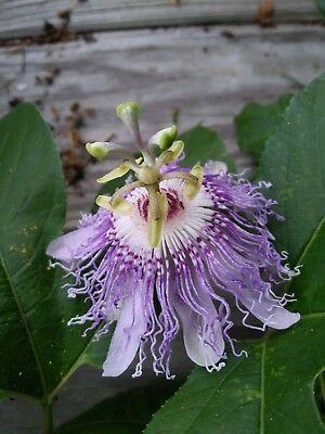 Pin De Marisa Pinheiro Em Flores De Maracuja Passiflora