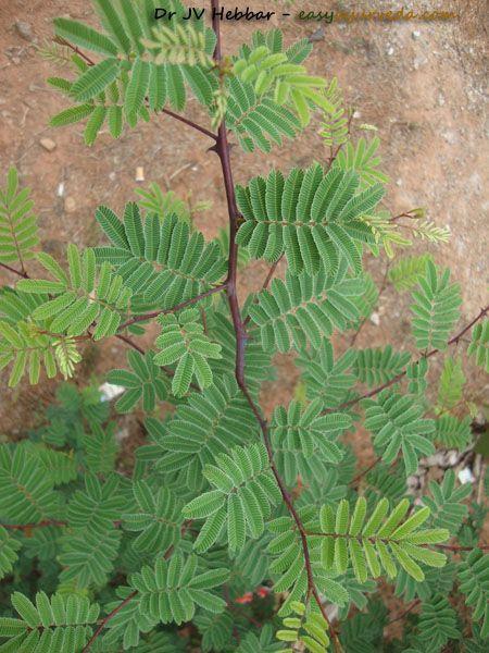 For My Teeth Khadira Acacia Catechu Uses Qualities Ayurveda Details Ayurvedic Plants Medicinal Plants Ayurveda