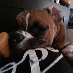 Phoenix Arizona Boxer Meet Boba A For Adoption Https Www Adoptapet Com Pet 23461454 Phoenix Arizona Boxer Mix Boxer Dog Adoption Boxer Mix