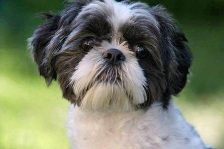 Black And White Shih Tzu Dogs Oreo The Shih Tzu Pictures 80687 Shihtzu Hondjes Puppy
