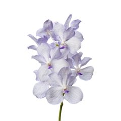 Buy wholesale cut Kanchana Lavender Mist Vanda Orchids for UK delivery. The lilac Vanda Orchid Kanchana Lavender Mist is sold 16 flower blooms per box & are ideal wedding flowers.