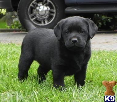 Images Of Labrador Retriever Puppies 114 The Dog Wallpaper Labrador Retriever English Labrador Puppies Lab Puppies
