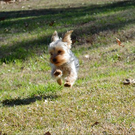 Dog Secrets The Fastest Way To Your Dream Yorkshire Terrier