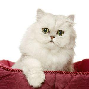 7 Most Popular Cat Breeds In India Popular Cat Breeds Cute Cats Kittens Most Popular Cat Breeds