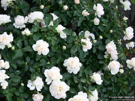 white meidiland (shrub rose)