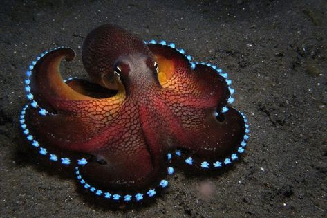 Coconut Octopus: Look no further than the floors of the western Pacific Ocean to find this stunning cephalopod in action. The Coconut Octopus is known for displaying atypical behavior for sea creatures, including walking the ocean floor on two legs. Underwater Creatures, Underwater Life, Ocean Creatures, All Gods Creatures, Cool Sea Creatures, Deadly Creatures, Magical Creatures, Beautiful Creatures, Animals Beautiful