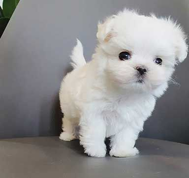 Maltese Puppies For Sale Near Me Delight Teacup Puppies In 2020 Puppies For Sale Teacup Puppies Teacup Puppies Maltese