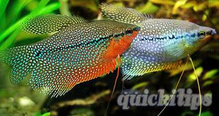 Important Information About Pearl Gourami Quicki Tips Fishing For Beginners Fish Tank Informative