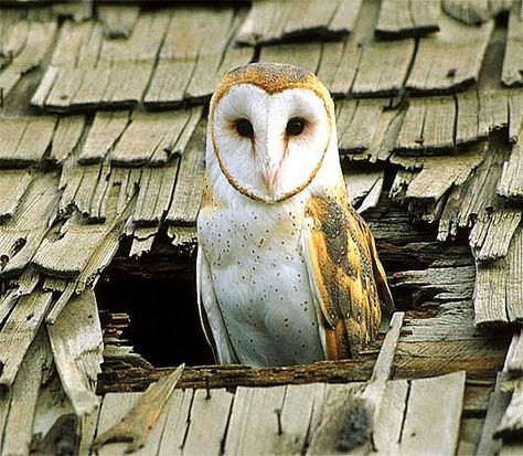 Barn Owl - The White-masked Ghost Owl