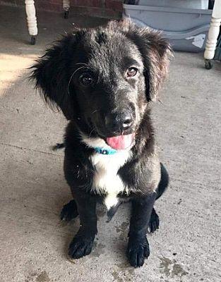 New York Ny Border Collie Meet Fabio A Dog For Adoption