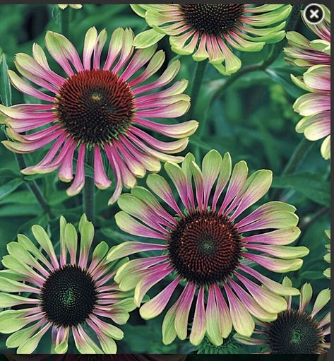 Excited to share this item from my #etsy shop: Green Twister Echinacea #flowerseeds #echinacea