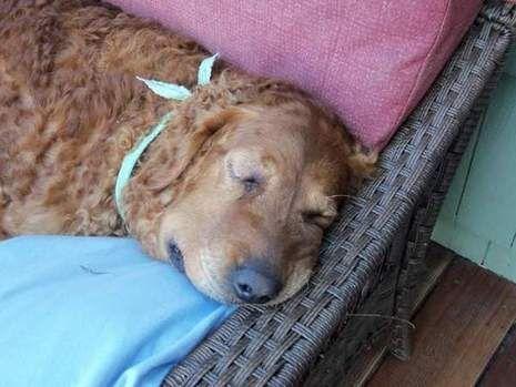 Dog Saves Owner From Rattlesnake Dogs Dog Names Golden Retriever Names