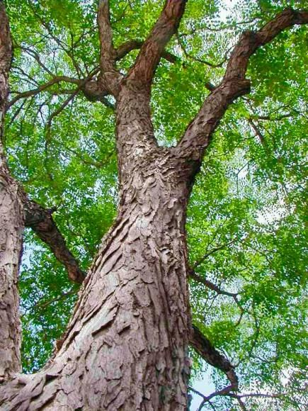 20 Tough Trees For Midwest Lawns Kentucky Coffee Tree Small Ornamental Trees Trees To Plant