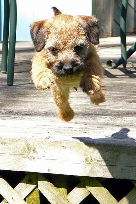 100 Best Border Terrier Dog Names Border Terrier Puppy