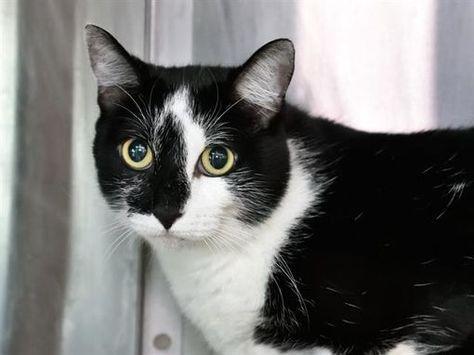 Austin Tx Domestic Shorthair Meet Oreo A Pet For Adoption In 2020 Pet Adoption Kitten Adoption Pets