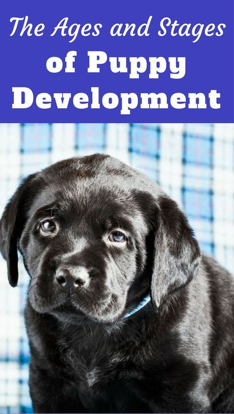 Puppy Development Growth Stages Guide