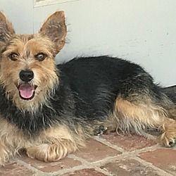 Mandeville Louisiana Norwich Terrier Meet Barbie Benton A For