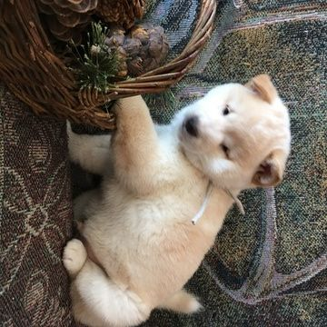 Shiba Inu Puppy For Sale In Boyceville Wi Adn 69863 On Puppyfinder Com Gender Male Age 8 Weeks Old Puppies For Sale Shiba Inu Puppy Shiba Inu