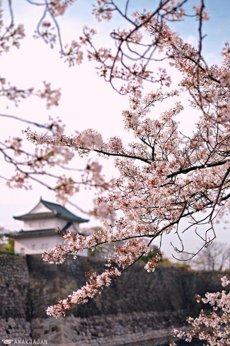 Japan Osaka Spring Travel Guide For Best Cherry Blossom Sakura Spots Anakjajan Com Cherry Blossom Japan Cherry Blossom Spring Trip