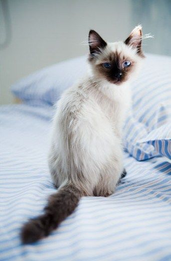 ...this looks like my cat except just make the mark on her nose speckled, because she is a Siamese calico cat, so shes beautiful
