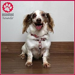 Available Pets At Secondhand Hounds In Eden Prairie Minnesota Dachshund Adoption Dog Adoption Pet Adoption