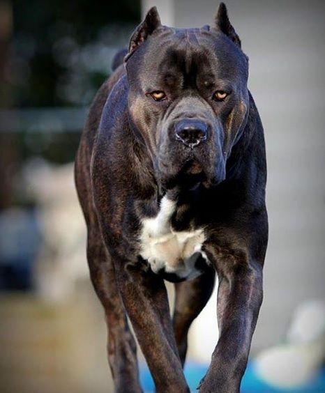 Aysu Yigiter Adli Kullanicinin Backlinks Panosundaki Pin Labrador Yavrulari Cane Corso Evcil Hayvanlar