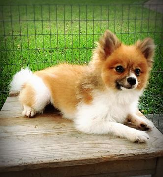 Pomeranian Puppy For Sale In Houston Tx Usa Adn 58641 On
