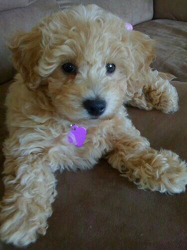 Pin By Jennifer Foster On Cockapoos Bichon Poodle Mix Poochon Puppies Puppies