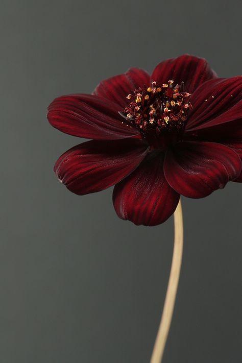 'Chocolate Cosmos Flower' by Alyson Fennell