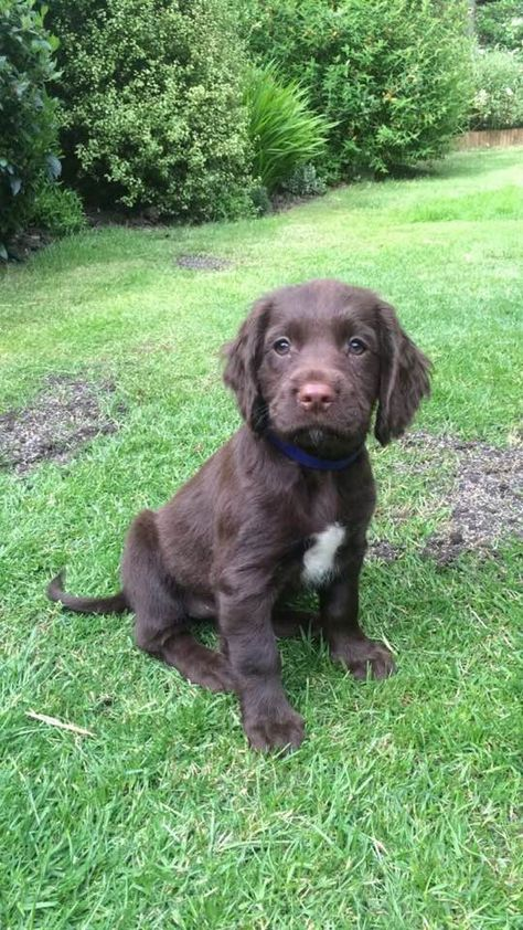 Our new Sprocker Spaniel puppy with no name!