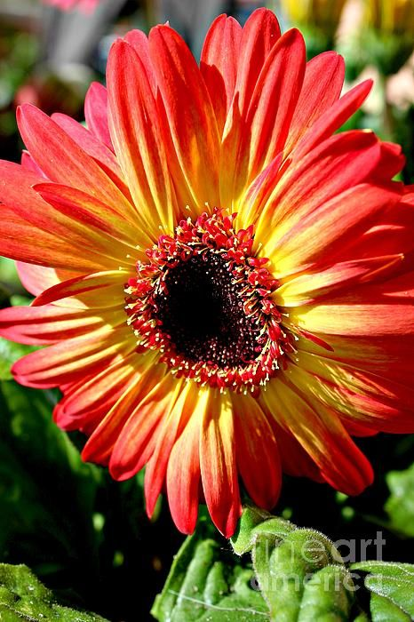 Spanish Coloured Gerbera By Clare Bevan