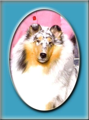 Highcroft Collies Collies Hamel Mn Collie Rough Collie Sheltie