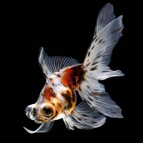 Photographic Print Goldfish Isolated On Black Background By Bluehand 16x16in Goldfish Black Goldfish Colorful Fish