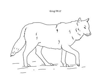 Gray Wolf Coloring Page By Mama Draw It Teachers Pay Teachers Grey Wolf Coloring Pages Cute Baby Animals