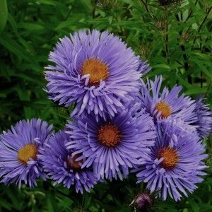 New England Aster St Michaels Aster New England England