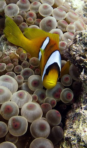Red Sea Clownfish by Mister Nemo